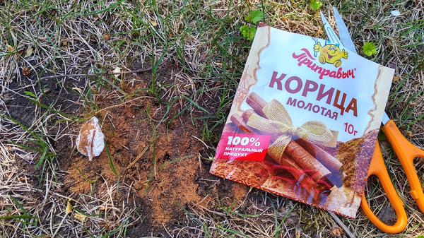 Корица от муравьёв не помогла. Фото автора